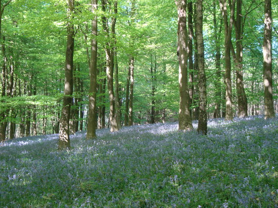 Challock, UK: Bluebells in King's Wood