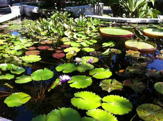 The Kampong : water lillies
