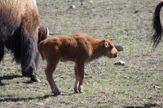 Grizzly Country Wildlife Adventures : A young Bison.