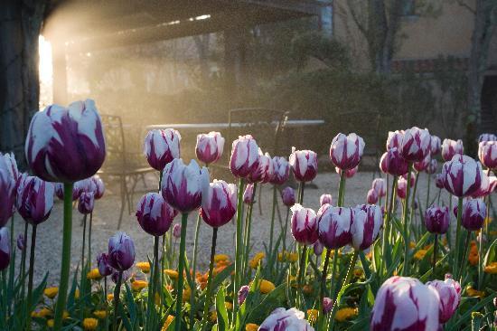 Vintners Inn: Tulips