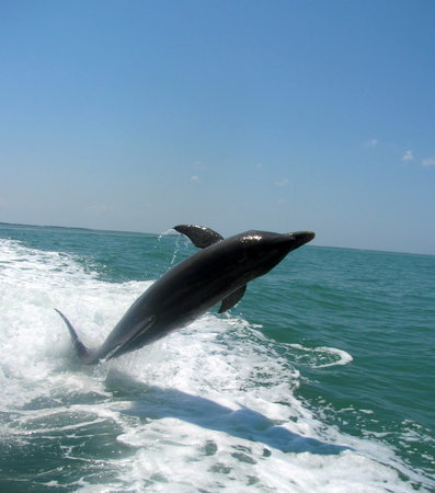 Sanibel Island Cruise Line : Dolphins following the boat