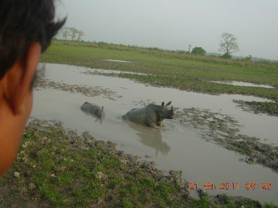 Kaziranga National Park, Índia: Rhinos in the pond in Kaziranga