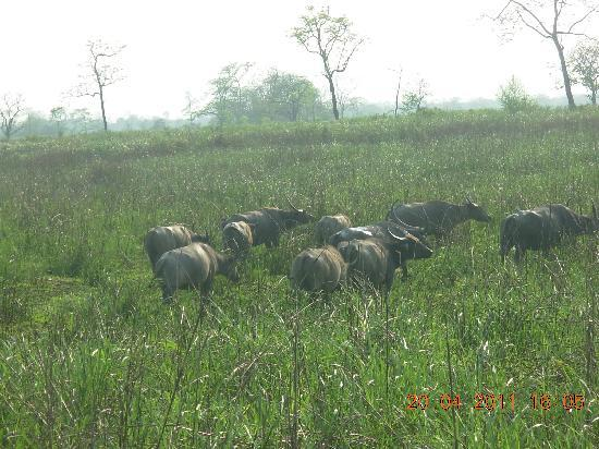 Kaziranga National Park, India: Wild Buffalos in Kaziranga