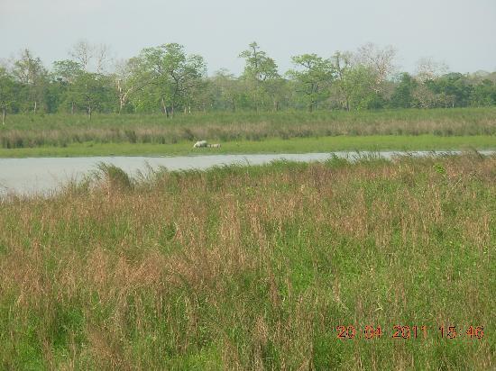 Kaziranga National Park, Índia: Rhinos in Kaziranga