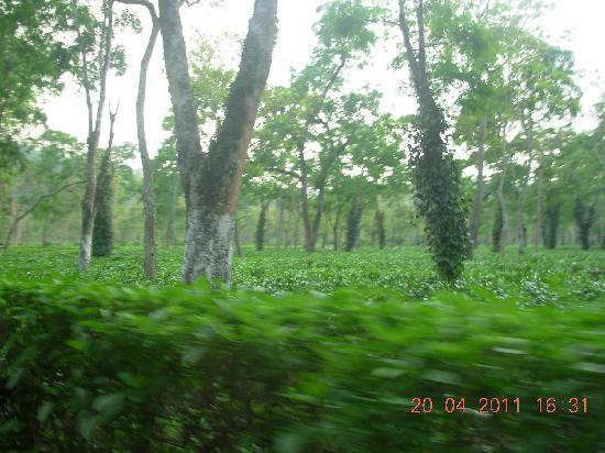 Kaziranga National Park, Hindistan: Fresh Tea Gardens on the roadside in Kaziranga