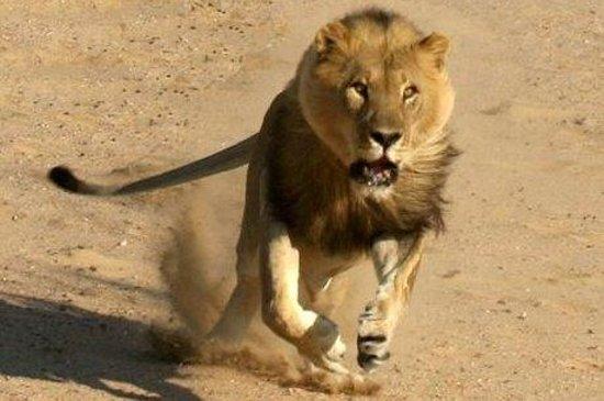 Nationaal Park Kruger, Zuid-Afrika: Lion in Full flight