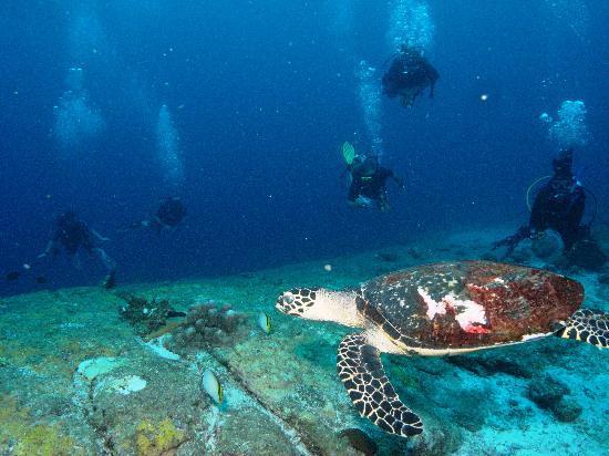 Similan Turtle - Picture of Scuba Cat Diving - Soi Watanna