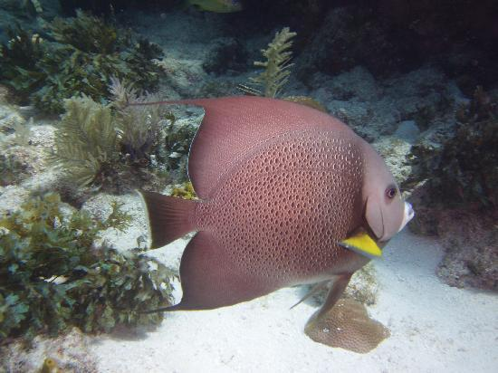 Blue Water Divers : Angel fish