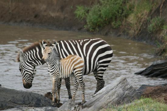 African Memorable Safaris: Zebra