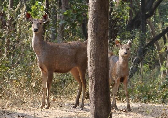 Kanha Jungle Lodge : Sambar-deer