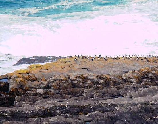 Aughris Cliff Walk: Godwits amongst a flock of oystercatchers
