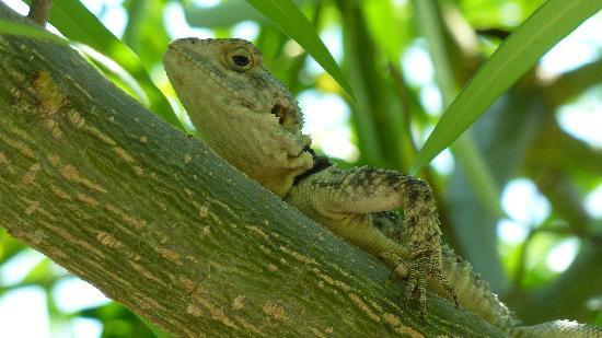 Meliton Hotel: Beautiful lizard in a tree Near the pool.