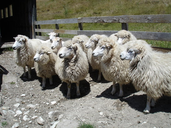The Point Sheep Shearing Show: Her jealous friends eagerly wait their turn in line