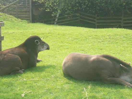 The Lake District Wildlife Park: Tapir