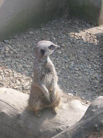 The Lake District Wildlife Park: Meercat