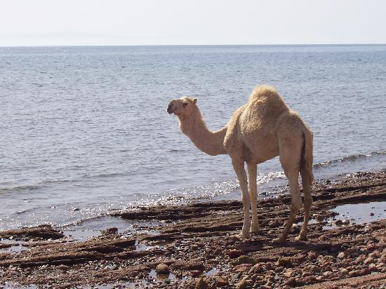 Sea Sun Hotel Dahab: sea sun camel
