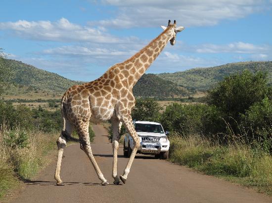 Valley View Guest House : Giraffa al Pilanesberg