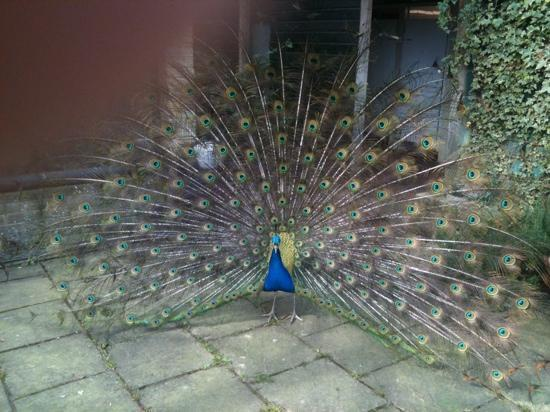 Druidstone Park: peacock showing off