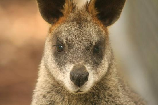 Crafers, Australia: Wallaby Close Up @ Cleland