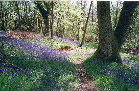 Lodfin Farm Bed & Breakfast: Spring Bluebells