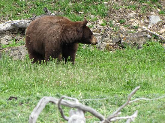 Mammoth Hot Springs Hotel & Cabins: black bear at Mammoth near travertine terraces