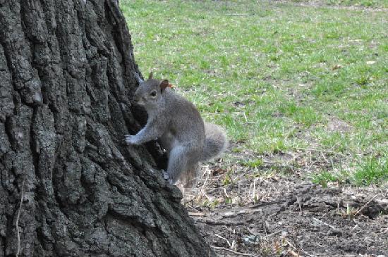 Easyliving-harlem: Ecureuil dans Central Park