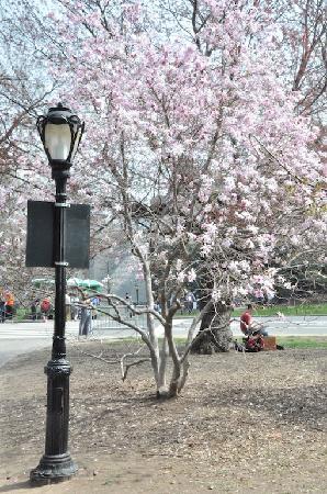 Easyliving-harlem: Malgré un printemps très tardif, on a pu trouvé un arbre fleuri...