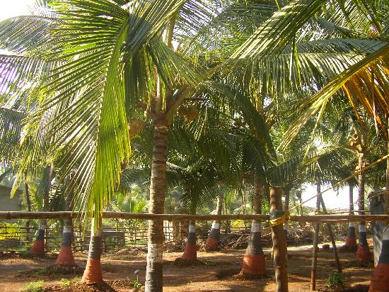 Tranquillity Beach Resort : lovely coconut garden
