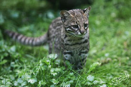 Le Parc des Felins : oncilla or tigrina