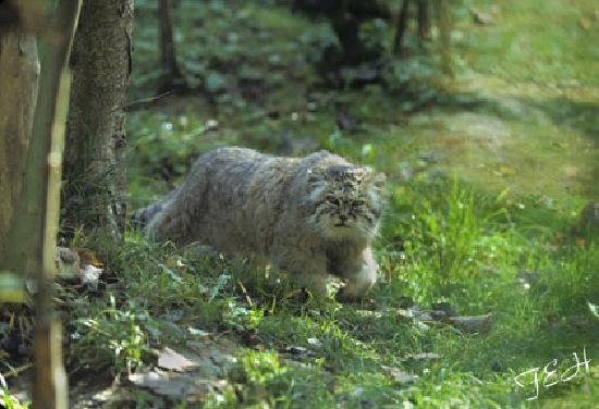 Le Parc des Felins : pallas cat