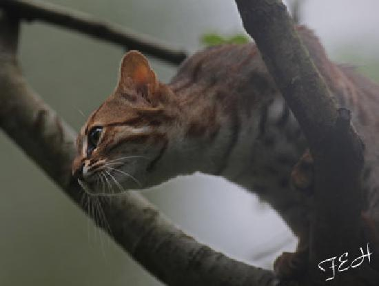 Le Parc des Félins : rusty spotted cat