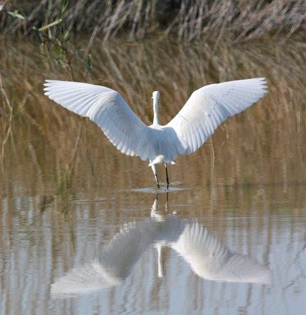 Ca'n Picafort, Spain: Little egret at S'Albufera Wetlands