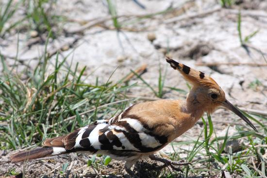 Parque natural s'Albufera de Mallorca: Hoopoe at S'Albufera Wetlands