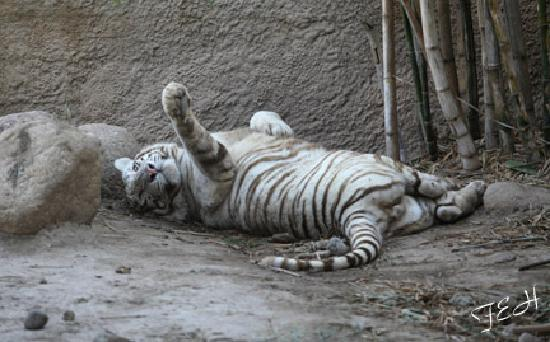 Brownsville, Teksas: white tiger