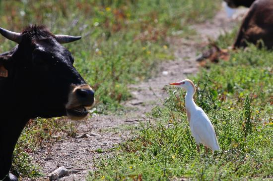 Parque natural s'Albufera de Mallorca: Cattle egret at S'Albufera Wetlands