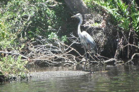 Cracker Creek: Beautiful heron on Spruce Creek