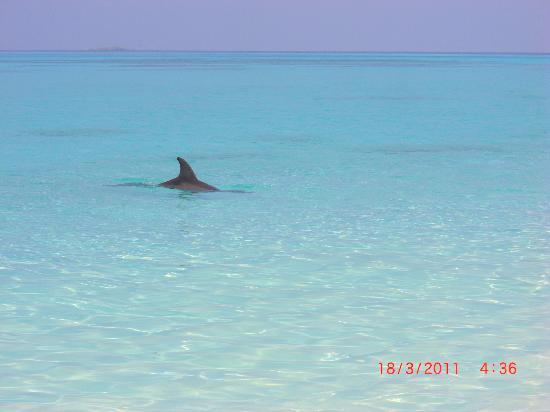 Baros Maldives: The dolphines