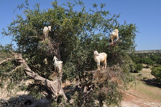 Dar Selwan Wellness & Spa : Un arganier sur la route d'Essaouira