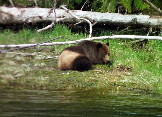 Khutzeymateen Grizzly Bear Sanctuary: we saw this one on our way out of the park