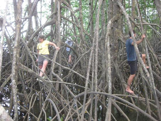 Campanario Biological Station: traversing the mangrove forest