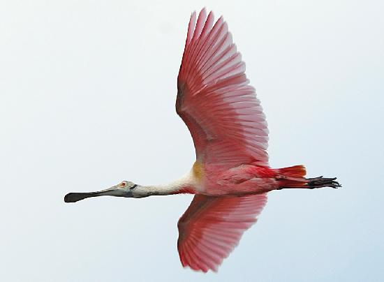 Lighthouse Inn at Aransas Bay: Roseate Spoonbill Gliding