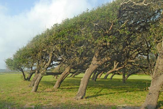 Lighthouse Inn at Aransas Bay: Wind shaped oak trees
