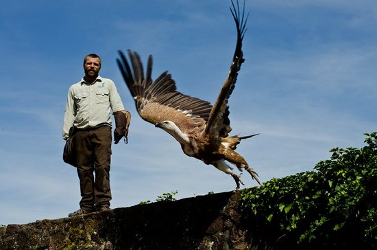 Kintzheim, Francia: A vulture takes flight