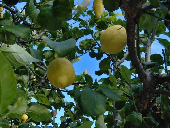 La Locanda della Castellana : The hotels own lemon tree