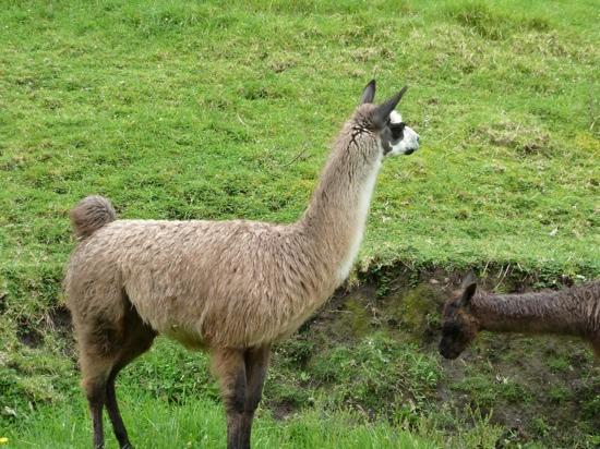 Hacienda Zuleta: alpaca