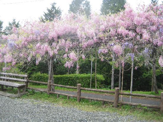 Hidakagawa-cho, Japón: ピンクの藤