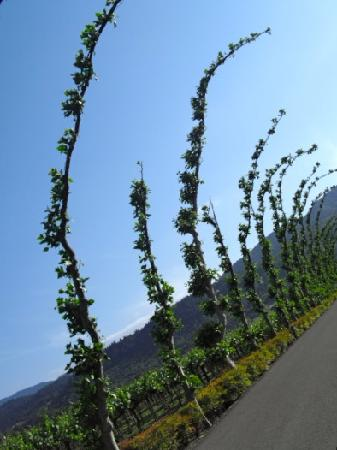 Peju Province Winery: Interesting trees