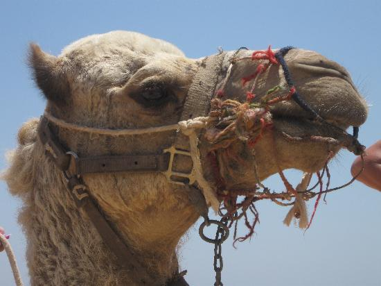 Coral Sea Holiday Village: Resident Camel Bobby
