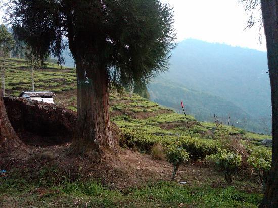 Glenburn Tea Estate: Terraced fields