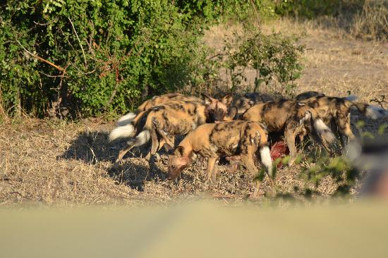 Chobe Safari Lodge: wild dog!